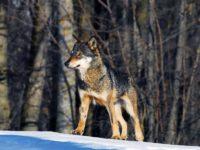 foto Centro uomini e lupi