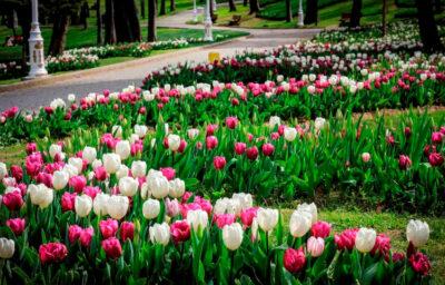 Festival-tulipani-istanbul