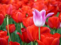 Istanbul, Pasqua tra i tulipani