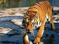 Una regale tigre