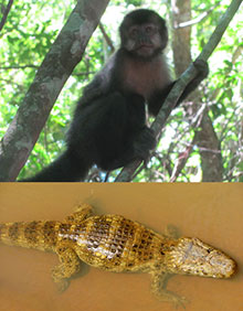 Iguazù Scimmia e caimano