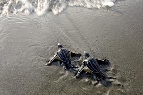 Tartarughe marine Ritorno al mare