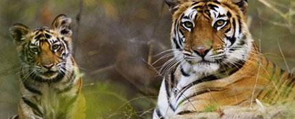 Santuari Tigri nel Parco nazionale di Kanha