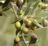Il frantoio delle olive senza nocciolo
