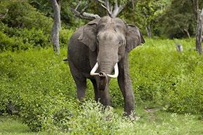 Santuari degli animali Un esemplare di elefante nel Parco nazionale di Bandipur