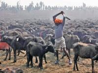 Festival di Gadhimai, salviamo gli animali dal sacrificio