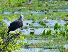 Aquila pescatrice testagrigia