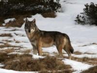Sulle tracce del lupo con le ciaspole ai piedi