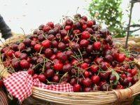 La ciliegia più bella d'Italia è di Roseto Capo Spulico