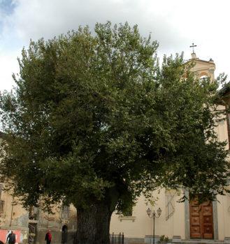 Alberi Monumentali d'Italia-San-Lorenzo-Olmo