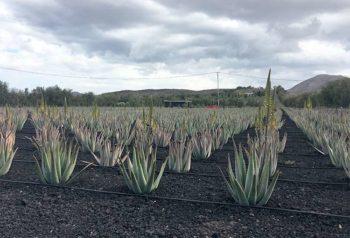 Fuerteventura piantagione-di-aloe