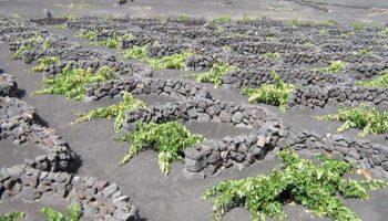Fuerteventura vitigno-malvasia