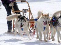 Sleddog, corsa con cani da slitta nel Parco Nazionale della Sila