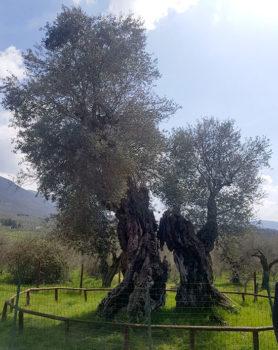 Sabina olivo-monumentale
