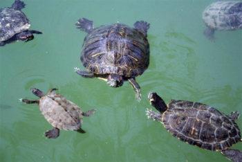 Parco Sigurtà tartarughe