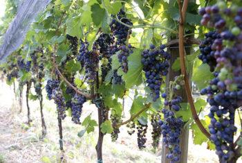 Cascina Lorenzo grappoli-uva