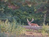 Parco della Sila. Cervo adulto (foto: emilio dati © 2018-Mondointasca.it)
