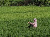 Lavorazione del riso in campo aperto (Ph: Donatella Penati M.© Mondointasca.it)