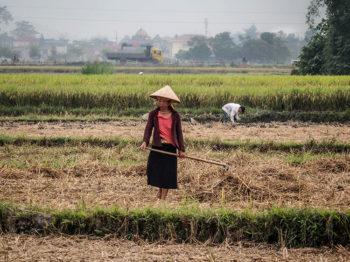 vie del riso 003-Il-taglio-del-riso