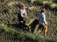 La battitura del riso (Ph: Donatella Penati M.© Mondointasca.it)