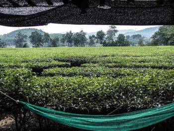 vie del riso 011-a-Coltivazione-di-tè