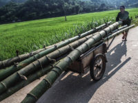 Raccolta del bambù (Ph: Donatella Penati M.© Mondointasca.it)