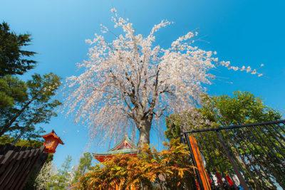 granchi Hanami in Giappone marzo