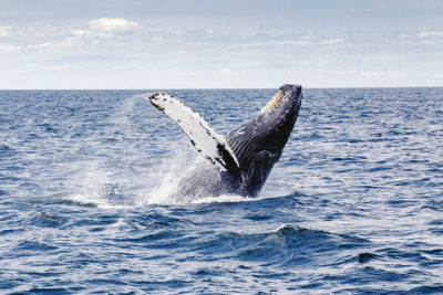 granchi Whale-Watching in Quebec maggio