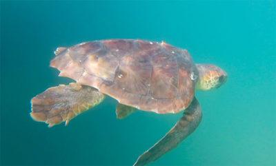 tartarughe-in-Sicilia-agosto
