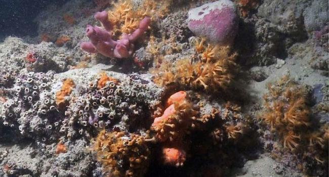 Barriera Corallina scoperta a Monopoli (Scientific Reports/Giuseppe Corriero e altri)