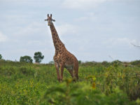 Arusha National Park, Giraffa (ph: © D. Penati – Mondointasca.it)