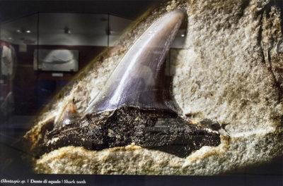 Museo-dei-fossili Bolca Dente-di-squalo