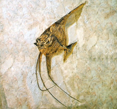 Museo-dei-fossili Ceratoichthys pinnatiformis