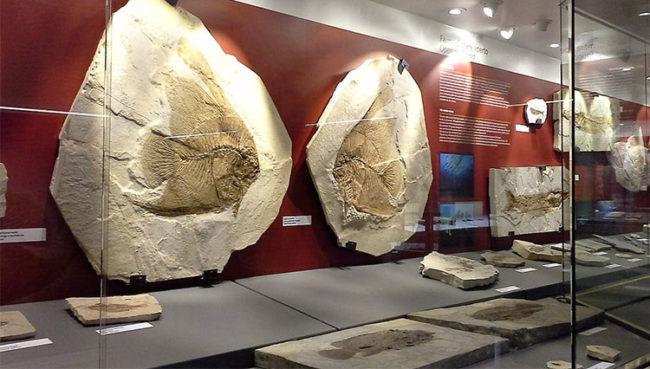 Fossili di pesci al Museo dei fossili Bolca