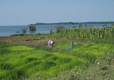 Tanzania Isola di Urekewe, Coltivazione di riso e mais (ph: © D. Penati – Mondointasca.it)