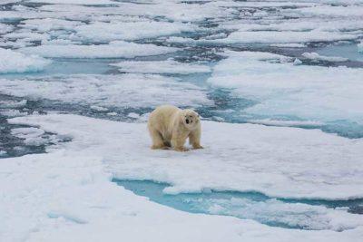 Orso polare (© Viaggi di Levi)