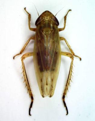 Biodivesrsità Psammotettix-aspromontanus