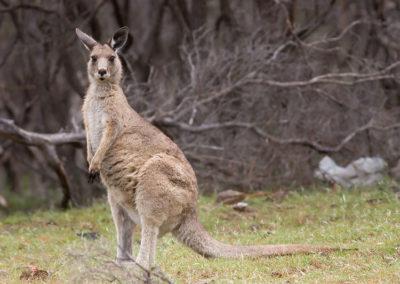 Tasmania-canguro