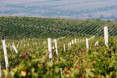 Gitana-winery-vineyards