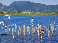 Gabbiani sul lago di Massaciuccoli (foto: © emilio dati - Mondointasca.it)