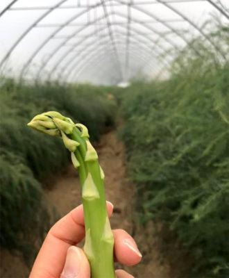 Orto-Veneto,-coltura-asparagi