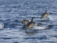 Delfini avvistati nel mare d'Irlanda