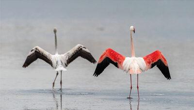 mondo animale coppia-fenicotteri-©ArcipelagoNetwork