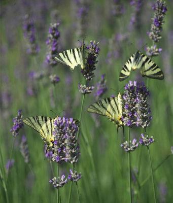 viaggio nel mondo animale farfalle-lavanda-©R Ridi