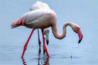 mondo animale fenicottero-rosa-©ArcipelagoNetwork