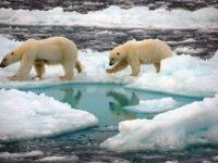 Orsi polari su ghiacci artici (foto: Dirk Notz)