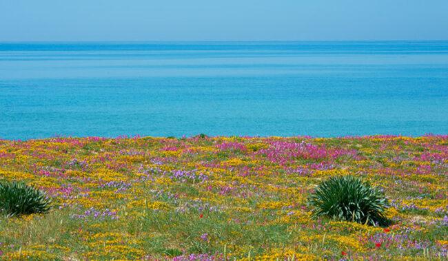 Costa salentina, fioritura primaverile sulla sabbia (ph. © Emilio Dati)