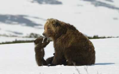 Giornata mondiale dell'ambiente Movies-for-Nature-Kamchatka-Bears