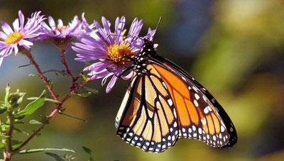 biodiversità-farfalla