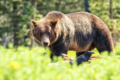 West-Yellowstone_Grizzly-&-Wolf-Discovery
